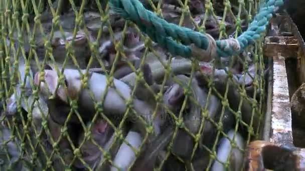 Ryby z čisté dostane držet