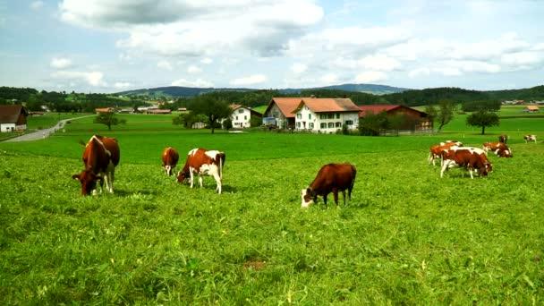 Krávy s rolničkami, pasoucí se na alpské louky v okrese Gruyeres, Švýcarsko.
