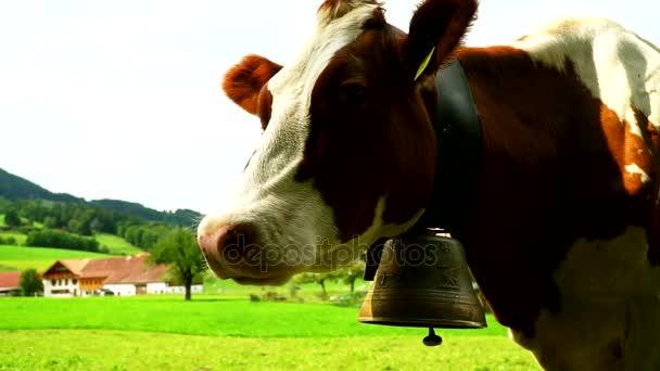 Mucche con un campane al pascolo sui prati alpini in distretto di Gruyeres, Svizzera