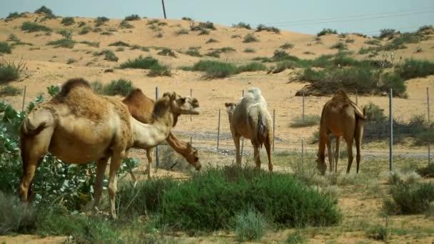 *** Sperem *** 14th sezione _ - Pagina 4 Depositphotos_195666196-stock-video-group-camels-grazing-desert-united