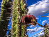 Mandacaru kaktusz közepén a caatinga növényzet, északkeleti Brazíliában
