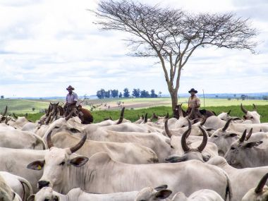 Magda, Sao Paulo, Brazil, March 08, 2006: The cowboy leads a group of Nelore cattle being herded through a wet field in a cattle farm in Magda, county of Sao Paulo
