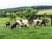 Photo Dairy cows in beautiful green grass pasture farm scene