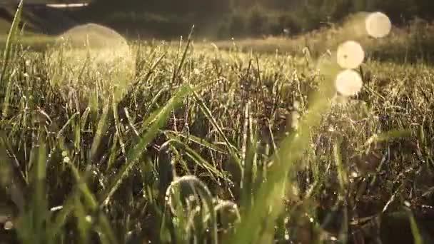 Rosa na trávě brzy ráno. Zpomalený pohyb