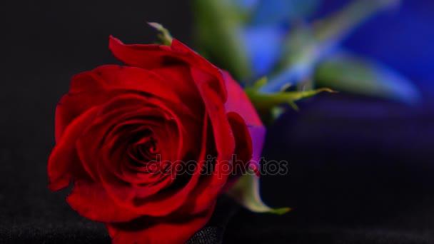 Meraviglioso Colpo Di Una Rosa Rossa Bellissimo Sfondo Video