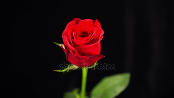 Beautiful flowers - red rose for lovers