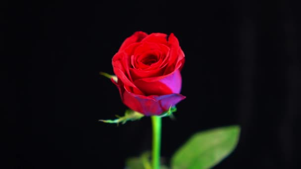 wunderschöne Aufnahme einer roten Rose - schöner Hintergrund