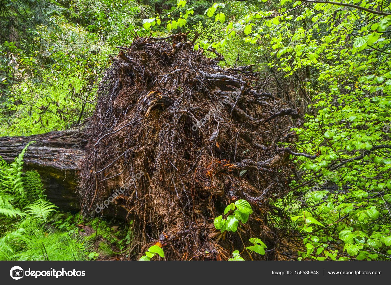 Die Wurzel Eines Baumes Rotzeder Stockfoto C 4kclips 155585648