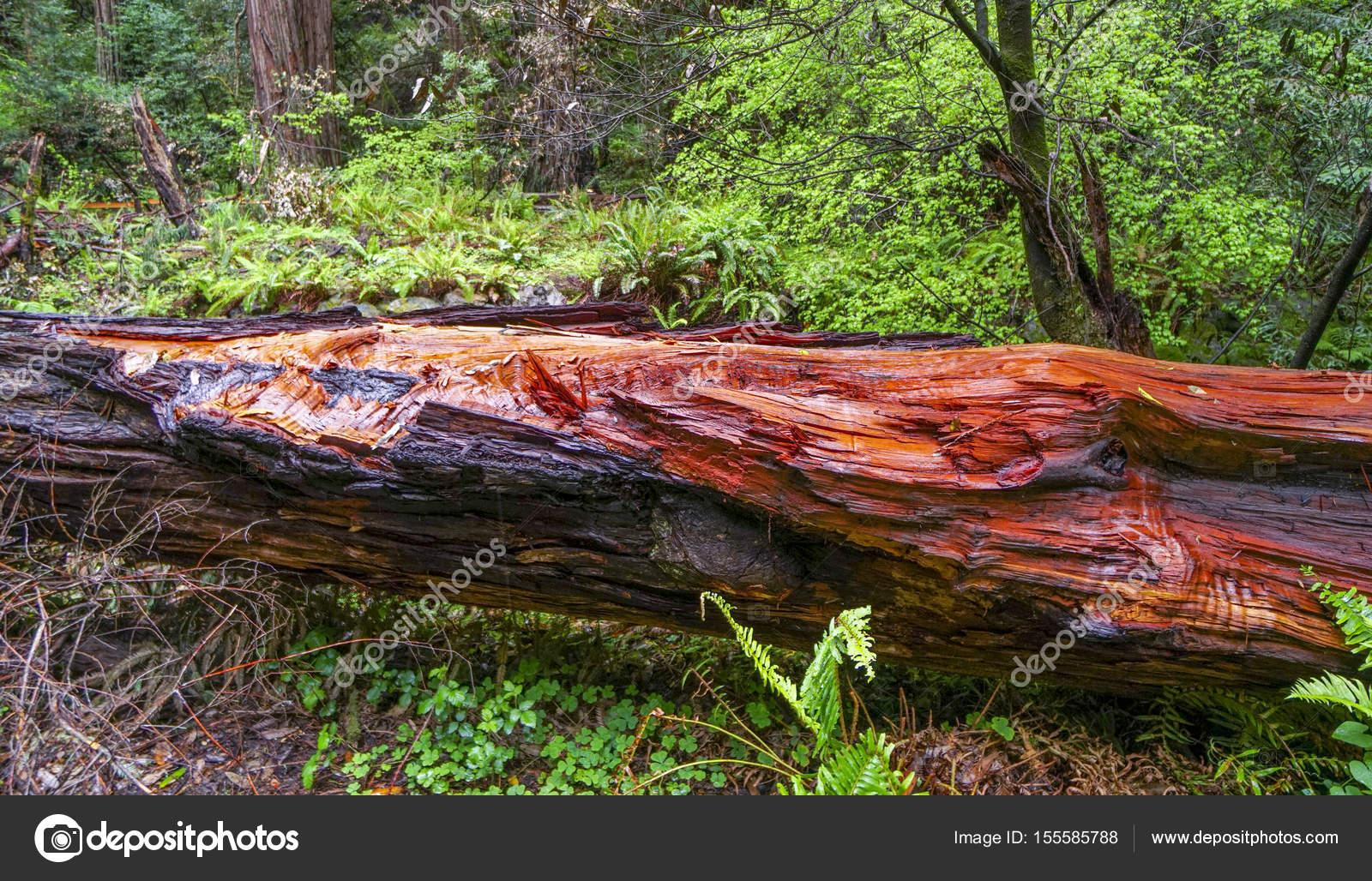 Rot Zeder Redwood Wald Stockfoto C 4kclips 155585788