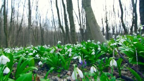 Sok szép virágzó hóvirág, tavaszi erdő