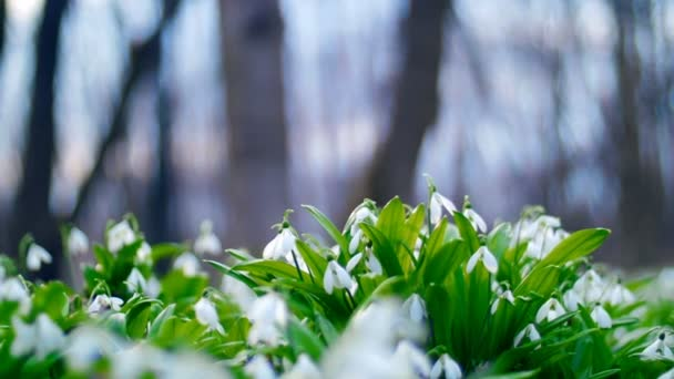 Many beautiful blossoming snowdrops in the spring forest