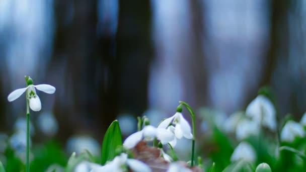 Mnoho krásné rozkvetlé sněženky v lese na jaře