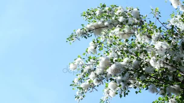 Against the blue sky, large, green poplar branches, all densely covered with bundles of fluff, like cotton tubers