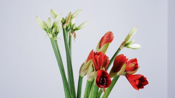 Květiny, kytice, otáčení na bílém pozadí, květinové kompozice je tvořena Amarylis bílá, růžová, ferrari