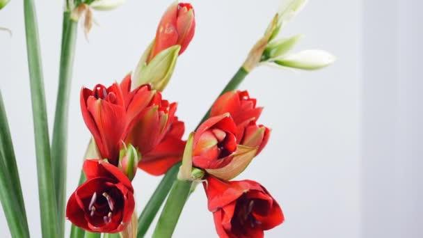 detail, květiny, kytice, rotace na bílém pozadí, květinové kompozice je tvořena Amarylis bílá, růžová, ferrari