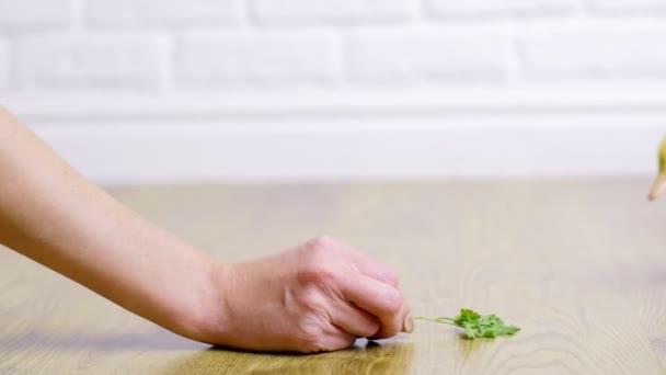 Közeli, a kéz tart egy gally a fű, és táplálja, teases, játszik, birtoklás móka-val három aranyos kis sárga kiskacsák, beltéri, fehér alapon