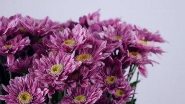 Közelkép, virág, csokor, forgatás, fehér háttér, virág kompozíció áll lila krizantém saba