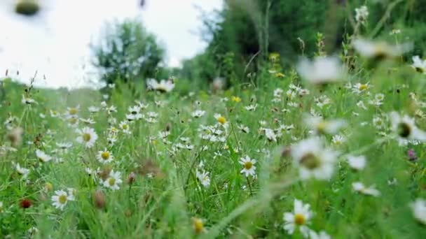 Chamomile field, lawn in the forest with flowering daisies, summer