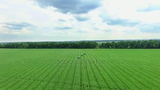Letní slunečný den. modrá obloha s bílé mraky, letecké video. zemědělství traktory pracovat na kukuřičné pole, analyzovat, odstranit boční mladé výhonky, kukuřice