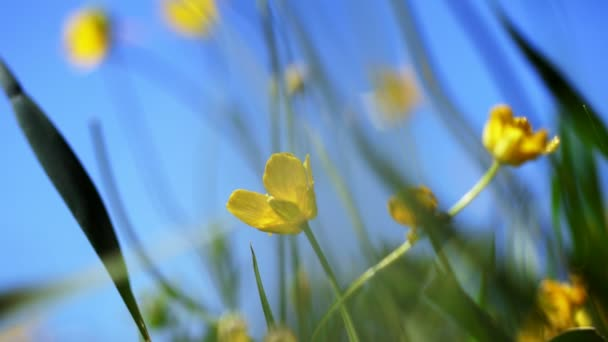 close-up, in the wind a yellow little flower swaying, against a background of green grass and a blue sky.