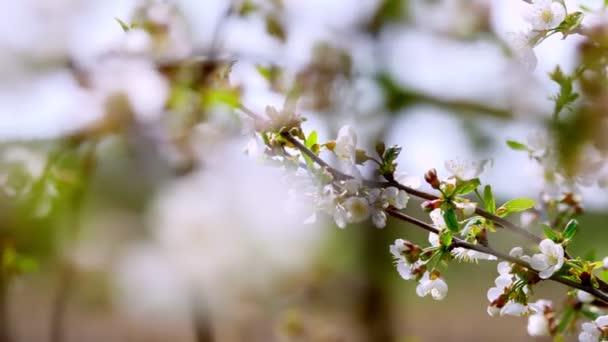közeli, virágzó almafák ágai, cseresznyék mozognak, lengenek a szélben, a tavaszi kertben, egy napsütéses napon.