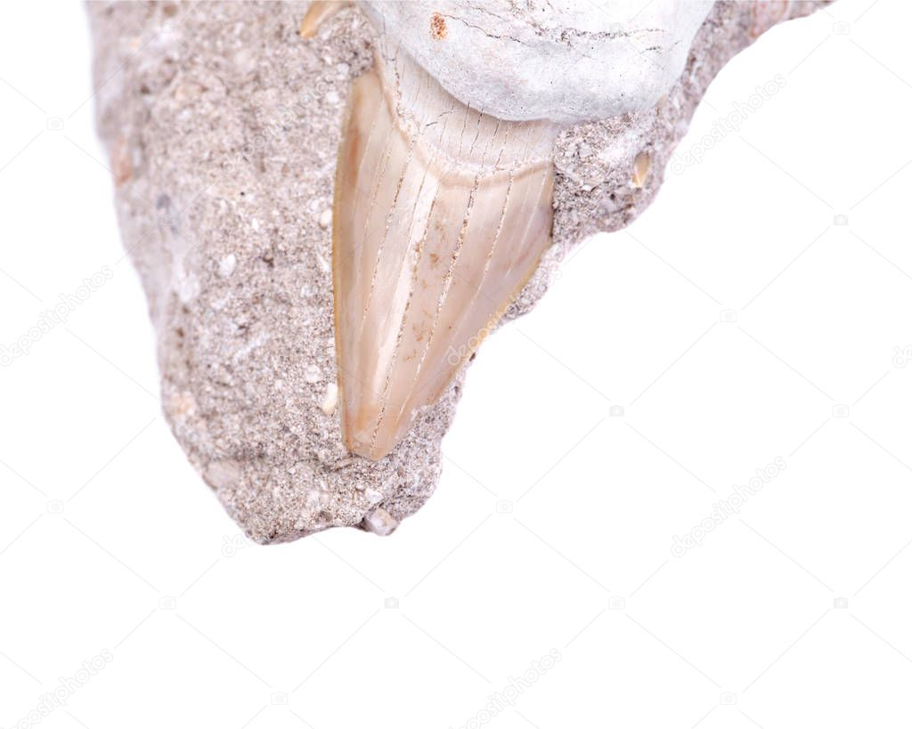 Fossil shark tooth embedded in a piece of Miocene limestone from Victoria in Australia isolated on white background