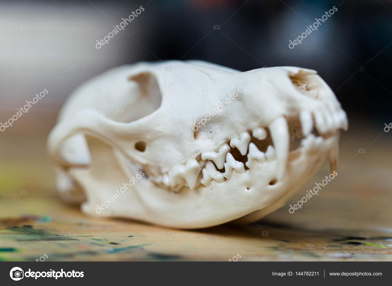 Schädel-Fuchs liegend auf einem Holztisch. Farbigen Lack Flecken ...