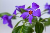 Beruška na fialovém květu, detailní pohled
