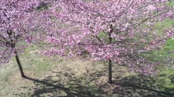 Jarní sakura kvete za slunečného dne. Květy Sakury kvetou. Letecká krajina