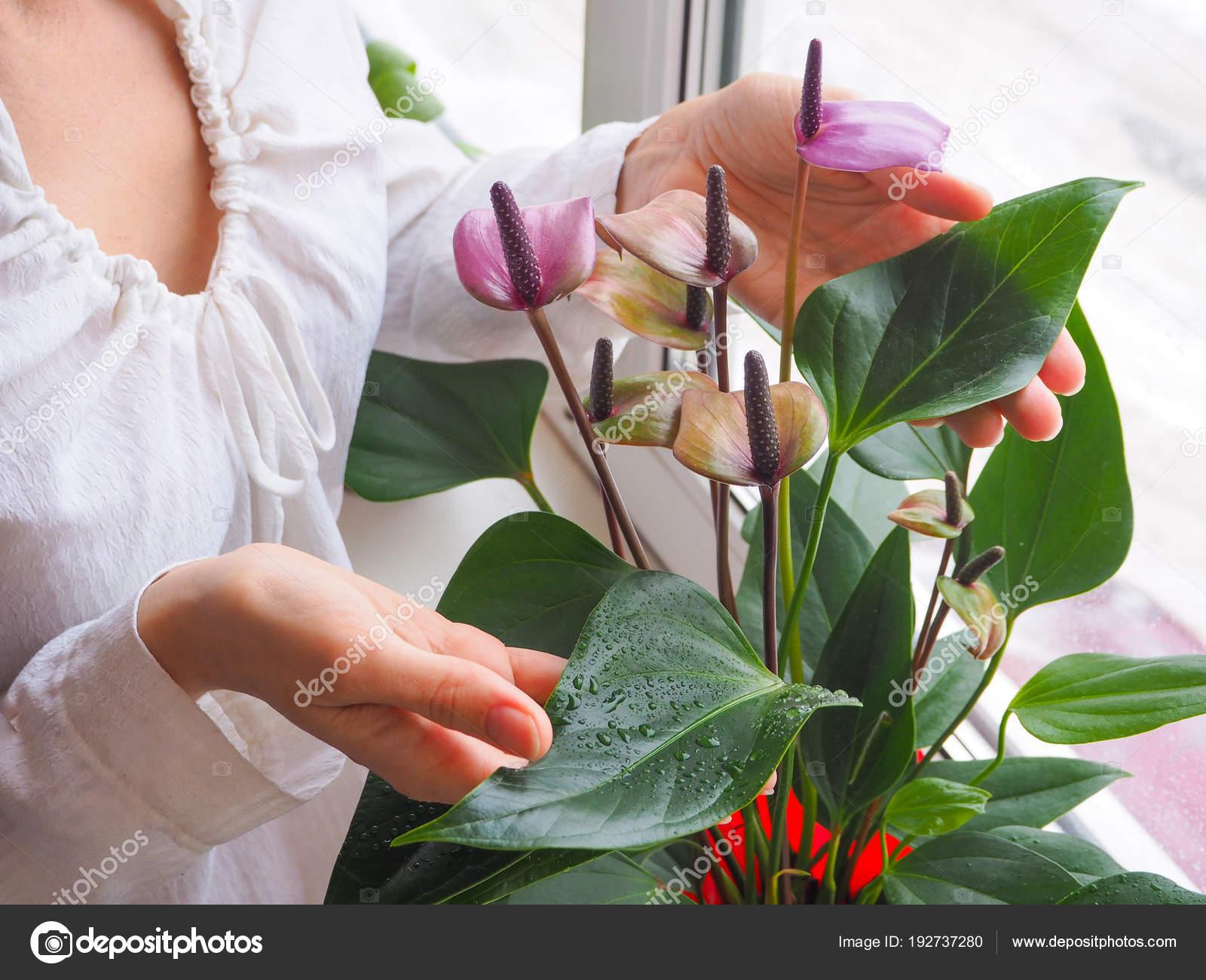 Reproduccion Las Plantas Interior Jardinero Hembra Mantiene Flor - Plantas-interior-con-flor