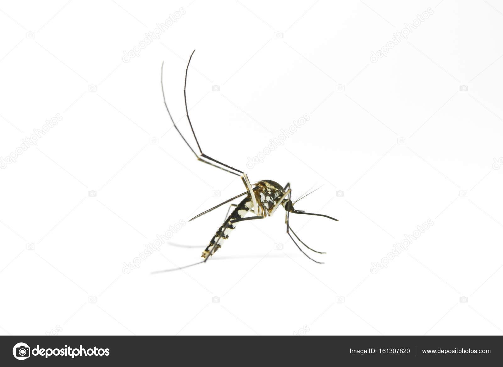 Zanzara Su Sfondo Bianco Foto Stock Iamtk 161307820