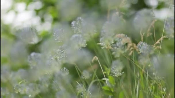 Waving blue wildflowers in green grass in spring field