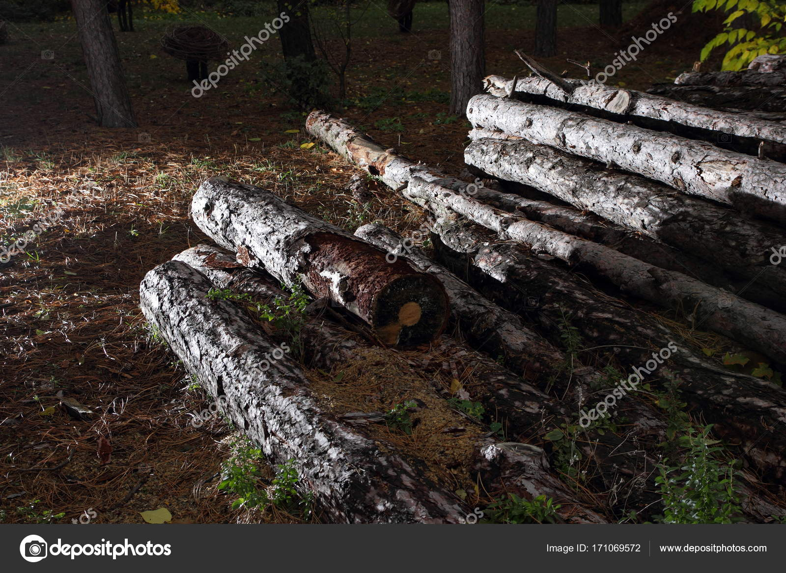 Deforestation, felled trunks of pine trees in a forest, trees