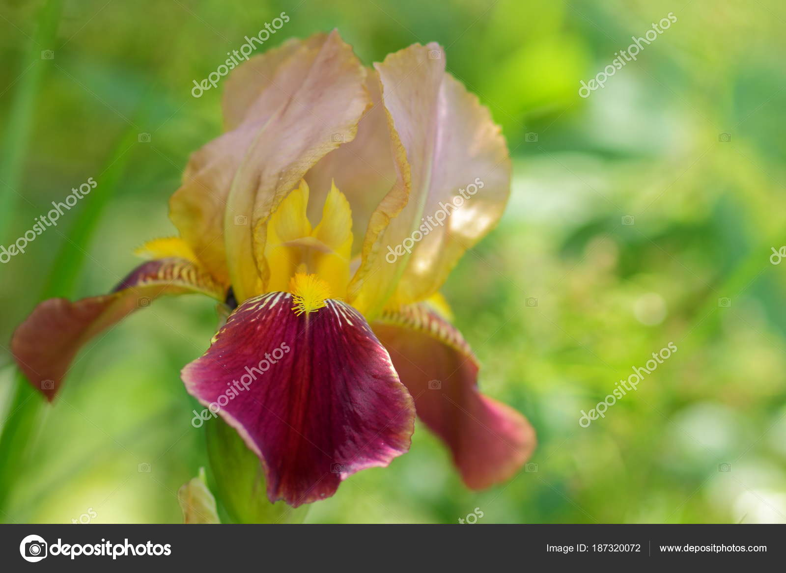 iris fleurs jaune printemps dans les jardins fleurs. Black Bedroom Furniture Sets. Home Design Ideas