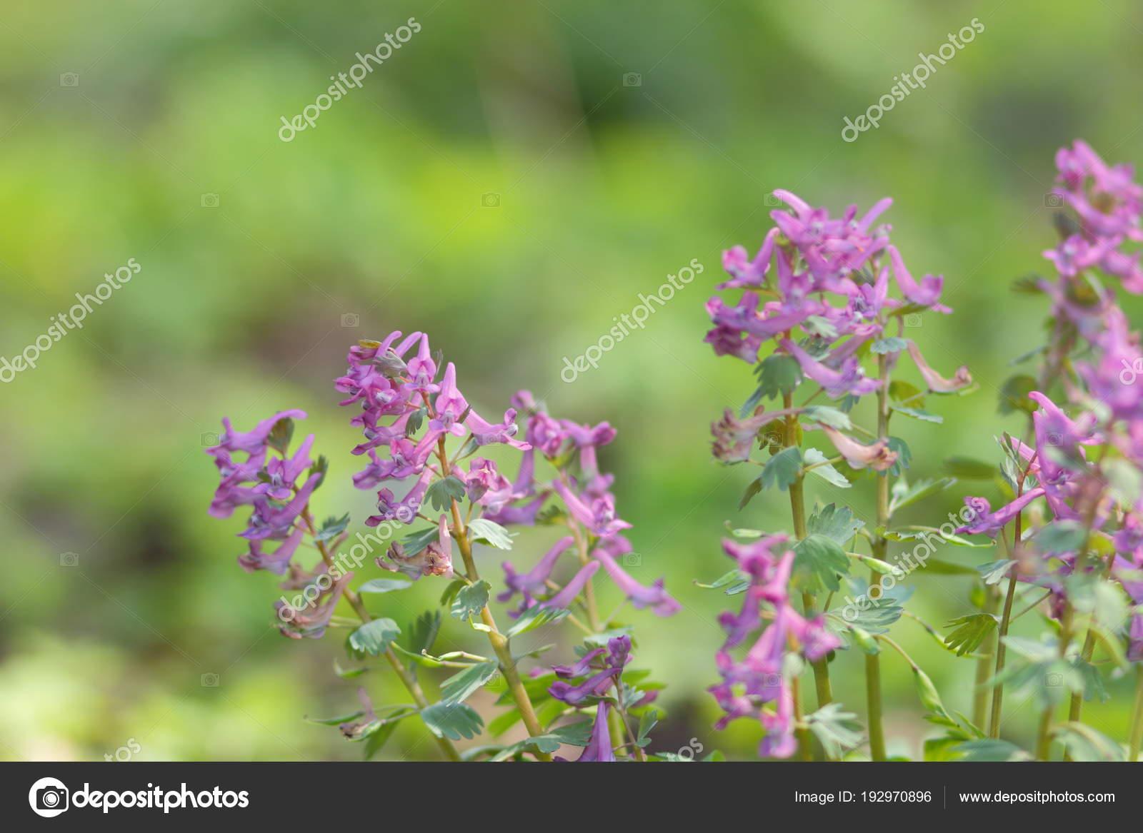 Purple Early Spring Wildflowers Flowers Healthy