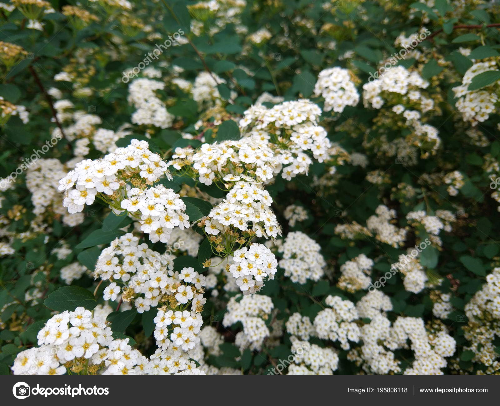 Rosa Multiflora Flowers Garden Small White Flowers Bushes Botanical