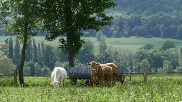 Mucche al pascolo in una giornata di sole sul campo verde - 4K