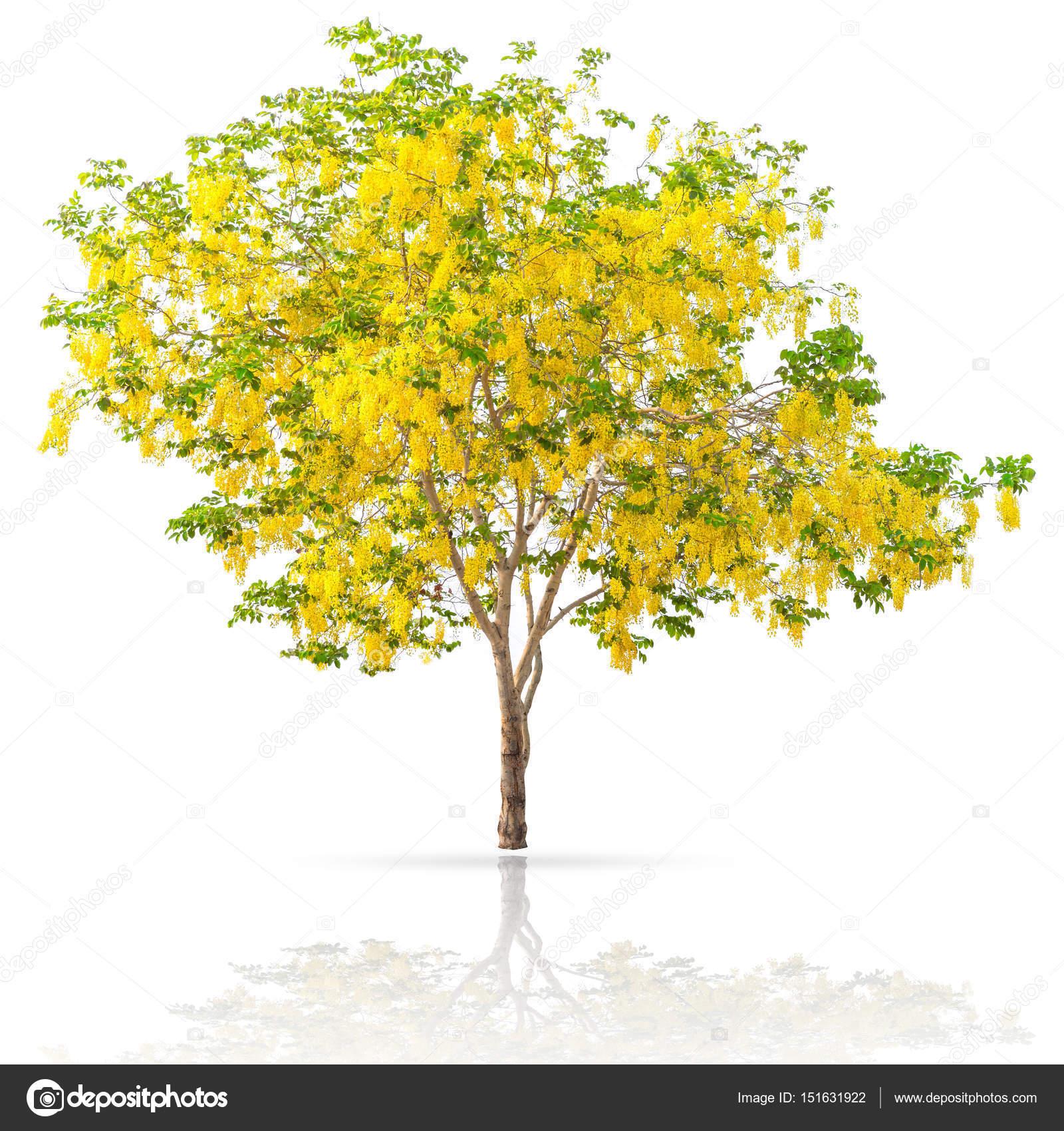 Golden Shower Yellow Flower Tree At Summer Season In Thailand