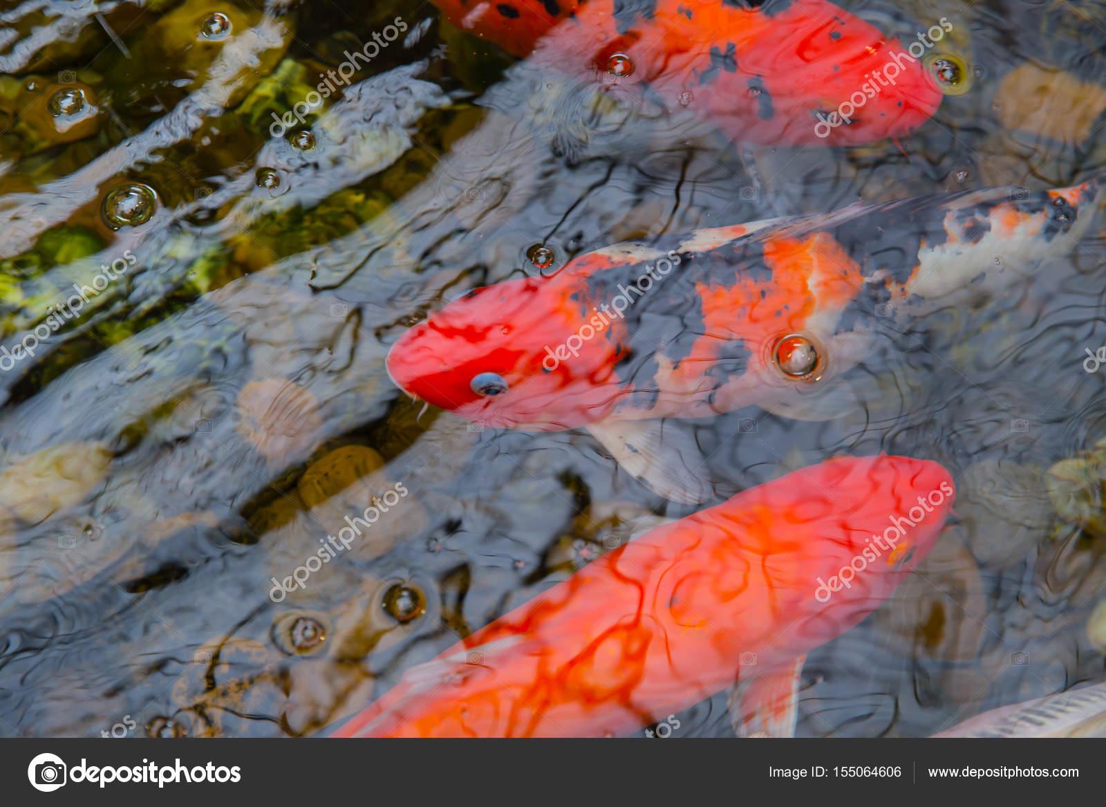 Koi-Karpfen oder broschiert Fische im Teich mit Wasser reflektieren ...