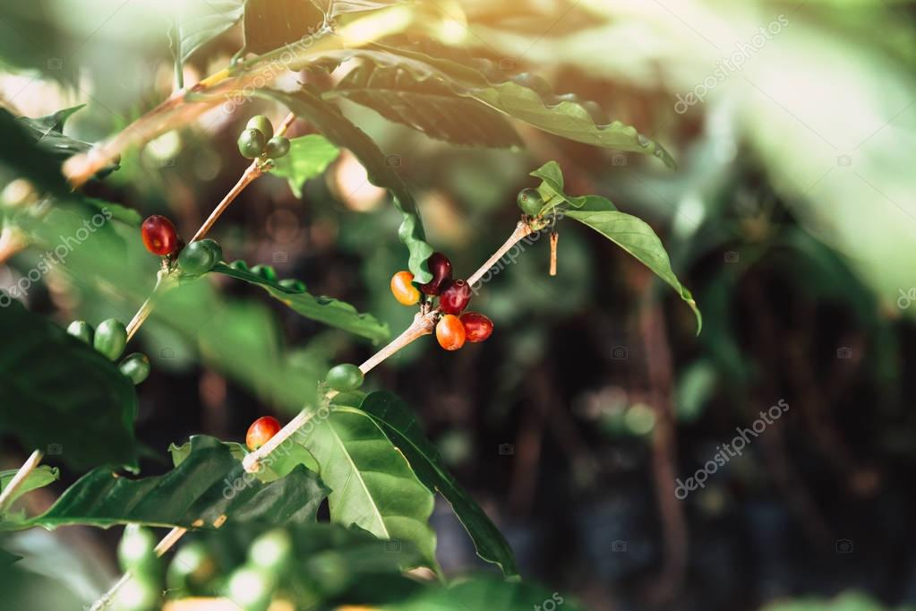 coffee plant with red coffee fruites berry