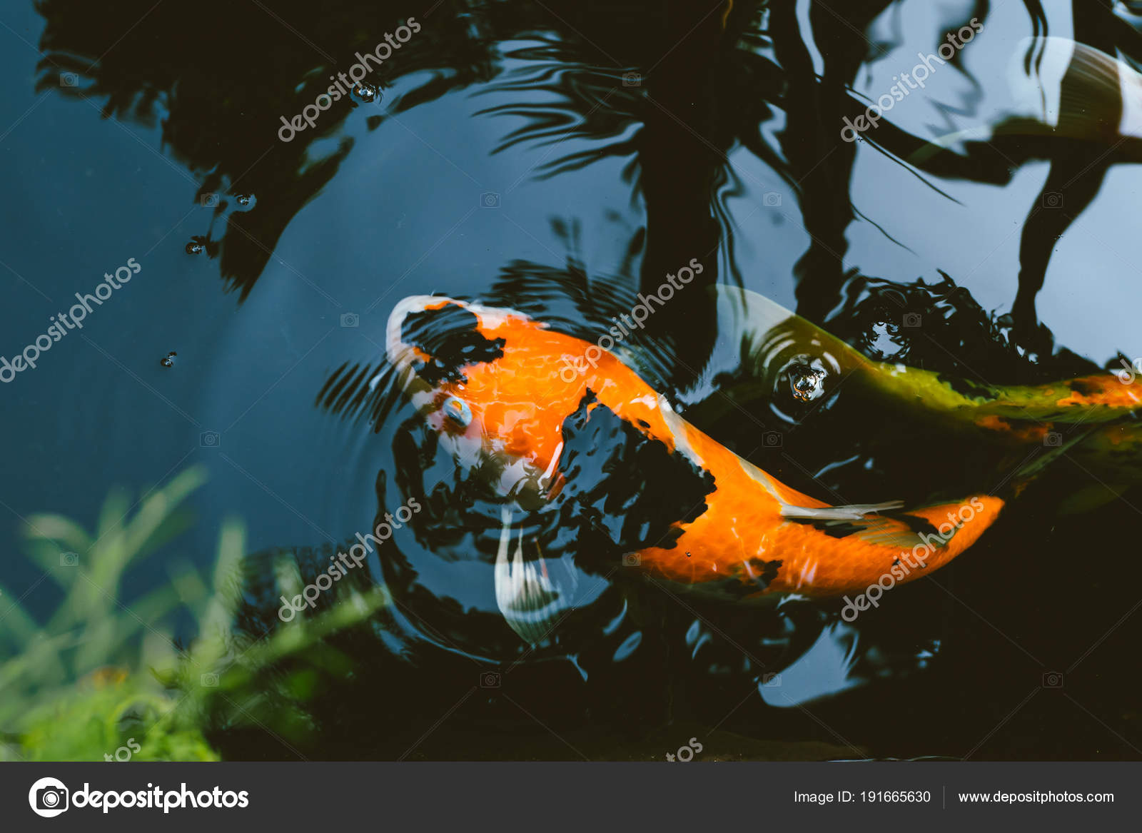 Japan Koi Carp Fish Pond Vintage Colortone Stock Photo C Coffeekai 191665630