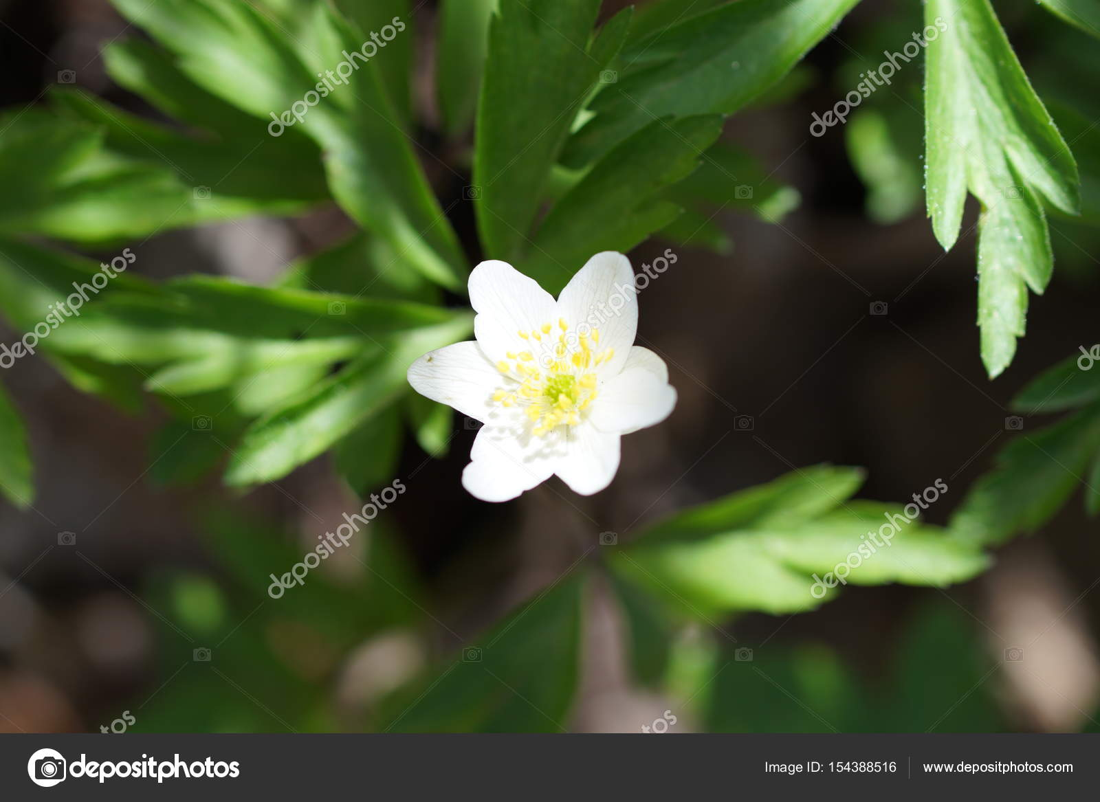 The First Spring Flower White Anemone In The Forest Blurred