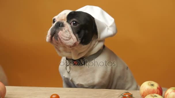 Cute French bulldog in chief hat isolated