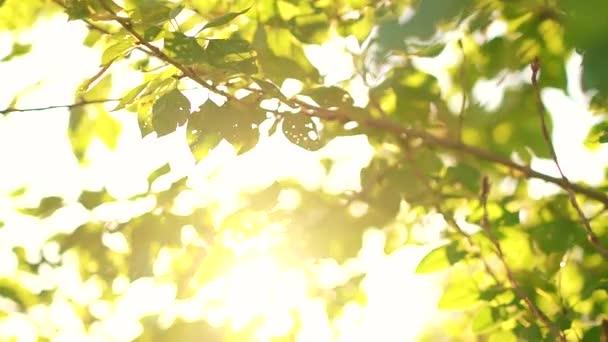 grüne Blätter und Sonne Sommer