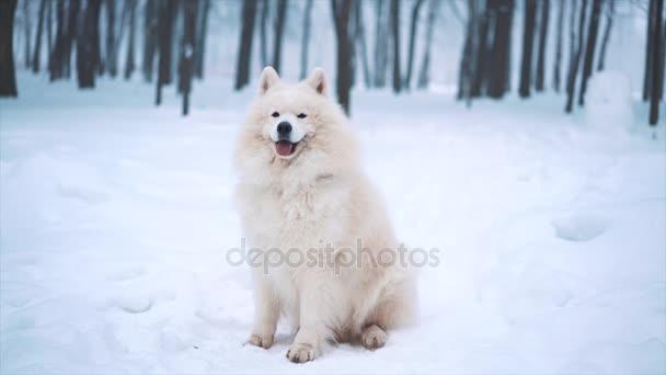 Samojed bílá psa v zimě