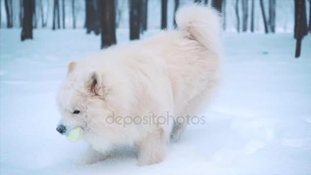 Samojed bílá psa hrát na sněhu