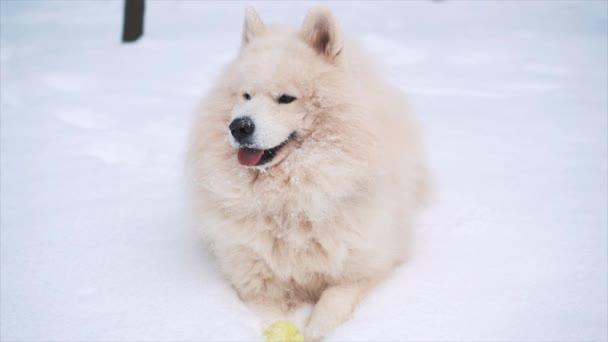 Legrační hra pes samojed bílá na sněhu