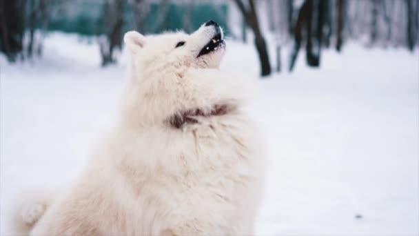Samojed bílá psa hrát a skok na sněhu