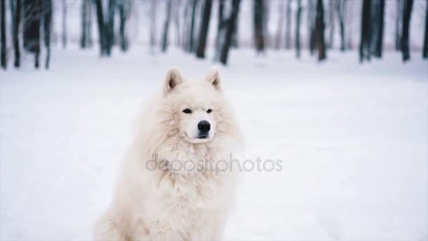 Samojed bílá psa hrát na sněhu v zimě
