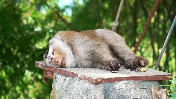 sleepy monkey lying on the stone